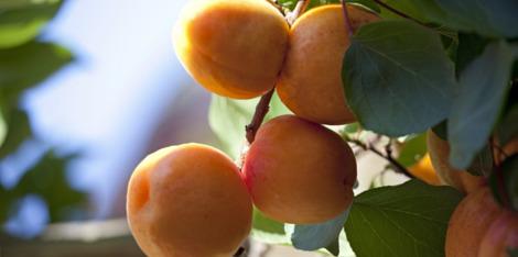 L'huile d'abricot, un ingrédient réconfortant anti peau de croco
